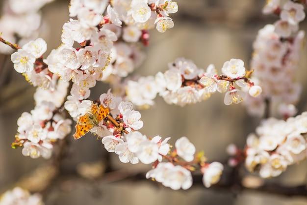 Mariposa sentada en la rama de cerezo con flores blancas. fondo de árbol floreciente de primavera. telón de fondo de la naturaleza. mariposa anaranjada en planta floreciente de la cereza de la primavera en parque. hermosas flores. fondo de la naturaleza