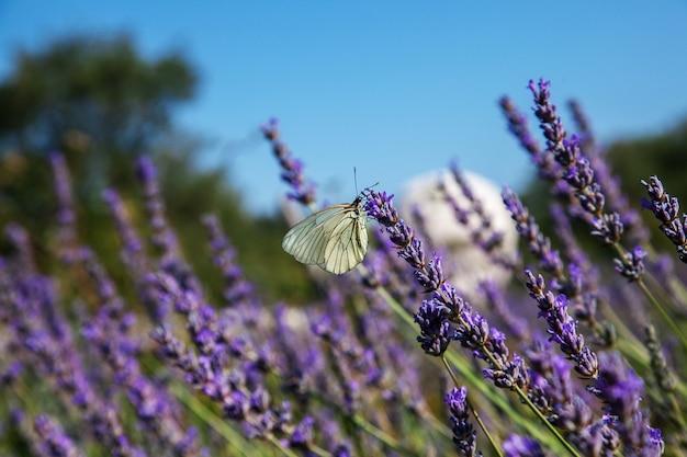 Mariposa sentada sobre una lavanda