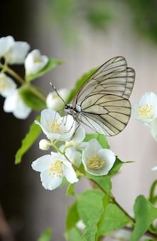 Mariposa sobre una rama de jazmín