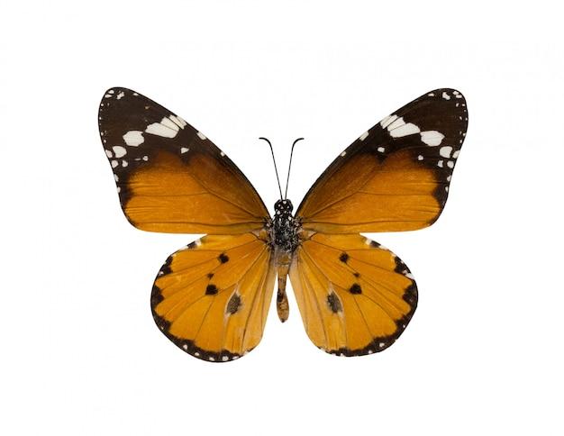 Mariposa tigre común