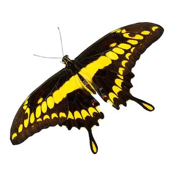 La mariposa tropical