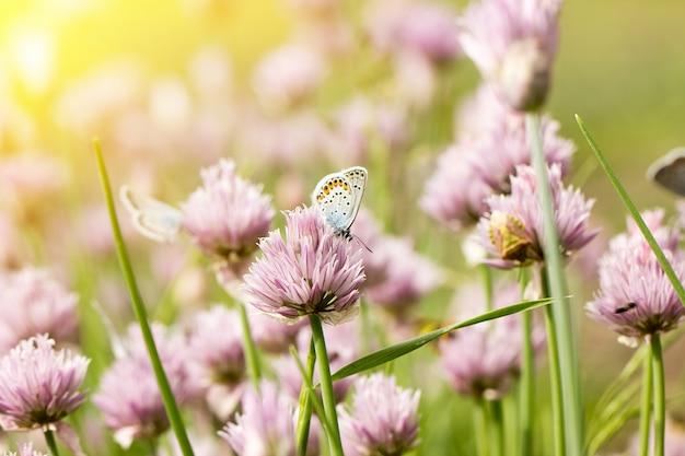 Mariposas azules en flores rosadas, estación de primavera