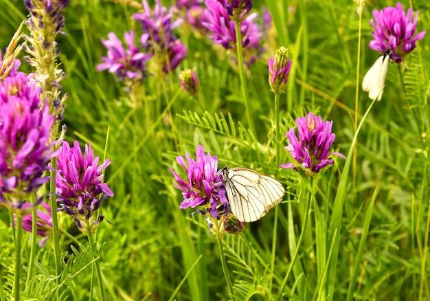 Mariposas de repollo sentado en un campo de flores de color rosa brillante en una densa hierba verde