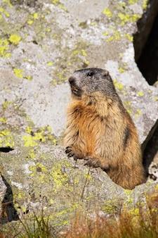 Marmota alpina salvaje que se coloca en roca en la luz del sol.