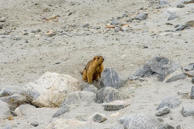 La marmota del himalaya muestra sus dientes cerca del lago tso pangong en ladakh, india.