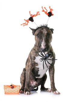 Marrón bull terrier y halloween