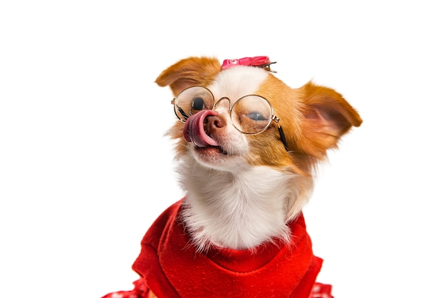 Marrón chihuahua perro hembra vestida de rojo y gafas sobre un fondo blanco