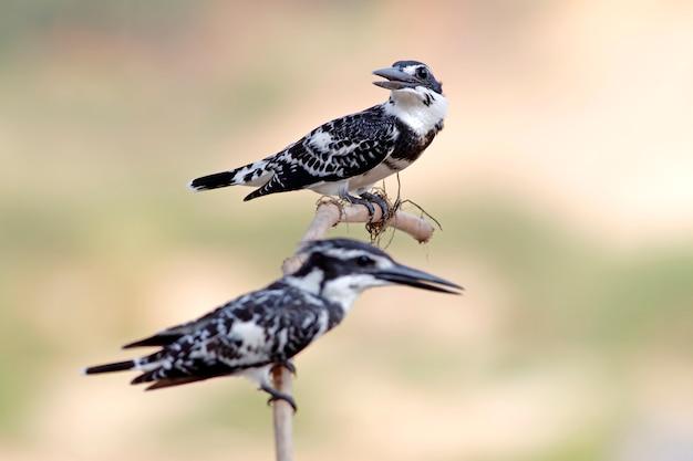 Martín pescador de pied ceryle rudis macho y hembra hermosas aves de tailandia
