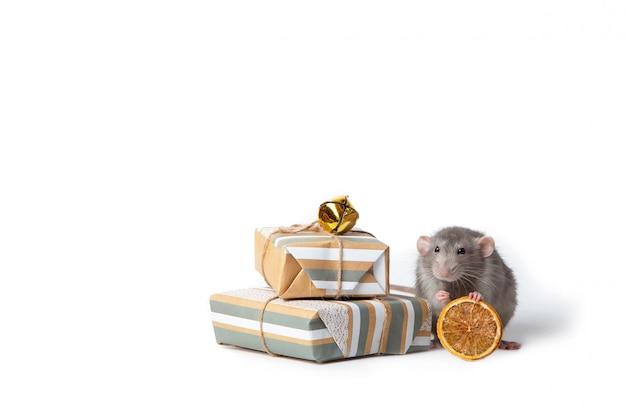 Mascota encantadora rata decorativa cerca hay regalos y naranja seca. año nuevo de la rata.
