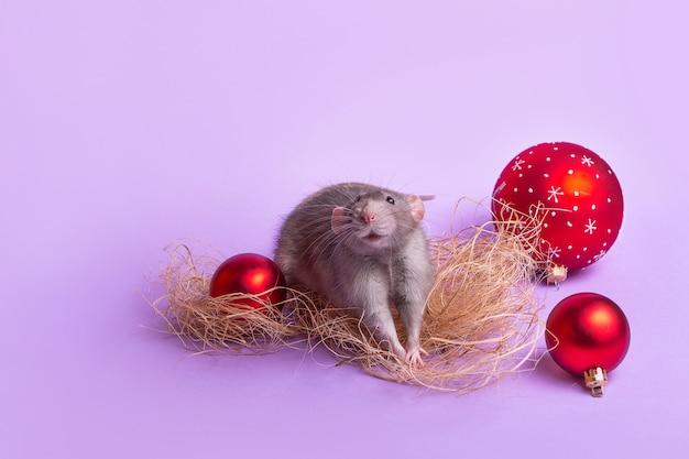 Mascota encantadora rata decorativa dumbo en pared lila. juguetes de navidad. 2020 año de la rata. año nuevo chino.