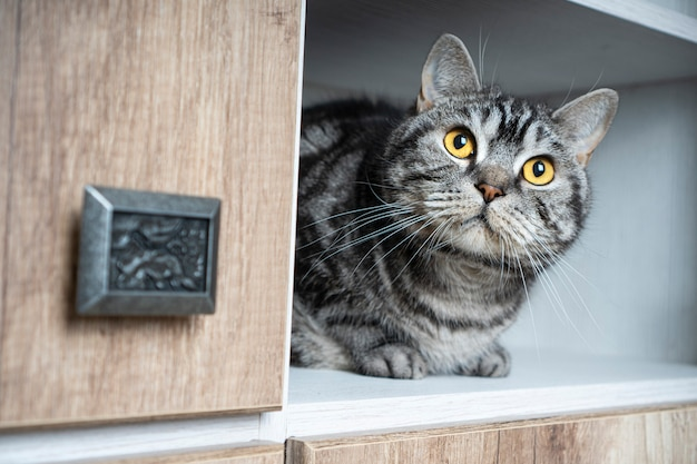Mascotas divertidas. gato gracioso mira fuera del armario. a los gatos les encanta esconderse en lugares apartados. encuentra un concepto de gato.