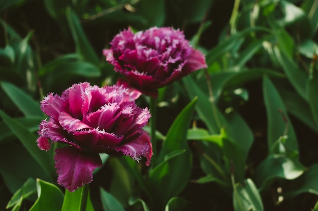 Mascotte tulip. doble tulipán rosa con flecos más claros
