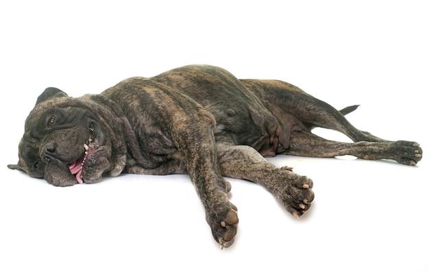 Mastiffdog toro