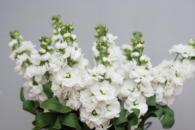 Matthiola flores blancas.
