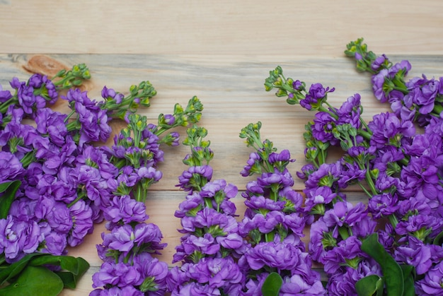 Matthiola flores de color púrpura.