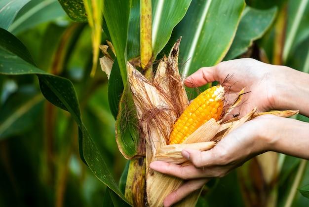 Mazorca amarilla de maíz dulce en el campo. recoge la cosecha de maíz.