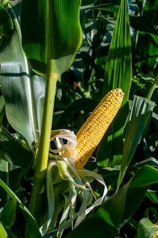 Mazorca de maíz amarilla fresca sin envolver rodeada de hojas verdes