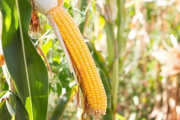 Mazorca de maíz en el campo, recolección de maíz.