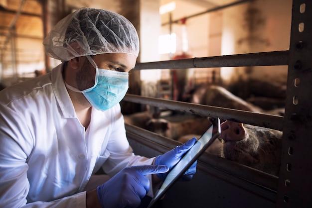 Médico veterinario de animales en la granja de cerdos comprobando el estado de salud de los animales domésticos porcinos en su tablet pc en pocilga
