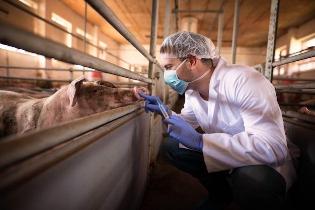 Médico veterinario listo para dar una inyección de medicina a un cerdo en la granja