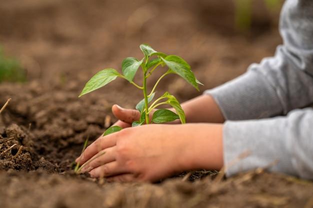 Medio ambiente. día de la tierra. plantar plántulas de pimiento en el suelo.