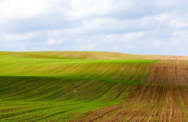 Medio campo verde de germen de trigo germinado