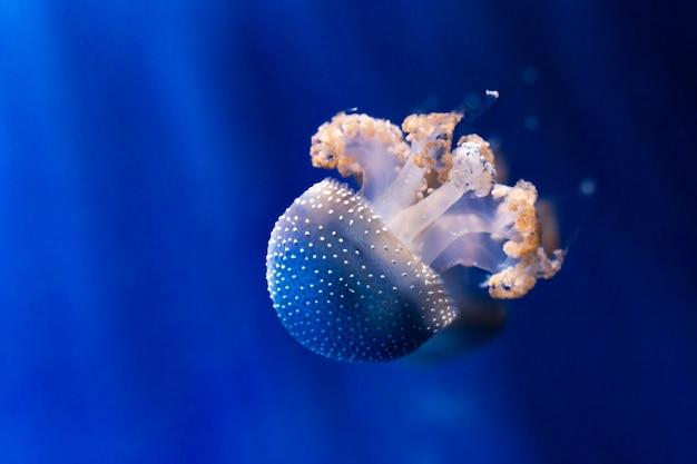 Medusa blanca manchada bajo el agua. phyllorhiza punctata