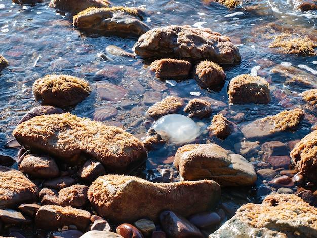 La medusa nada en la superficie del agua cerca de las rocas cubiertas de algas.