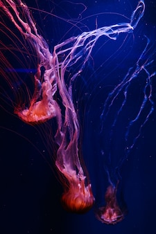 Medusa naranja brillante chrysaora pacifica en azul fantasma profundo
