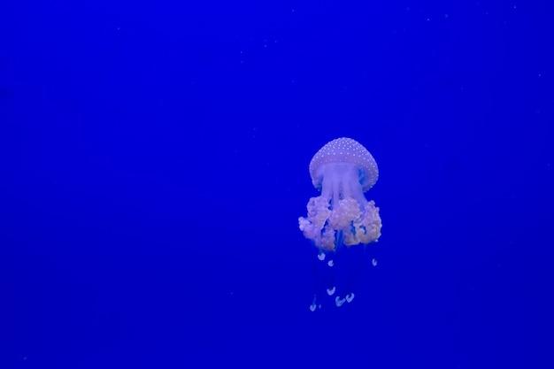 La medusa transparente azul flota a través del agua sobre un fondo azul. espacio libre para texto