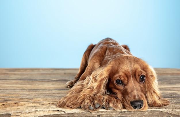 Mejor amiga. perro joven cocker spaniel inglés está planteando. lindo perrito o mascota marrón juguetón está acostado sobre un piso de madera aislado en la pared azul. concepto de movimiento, acción, movimiento, amor de mascotas.