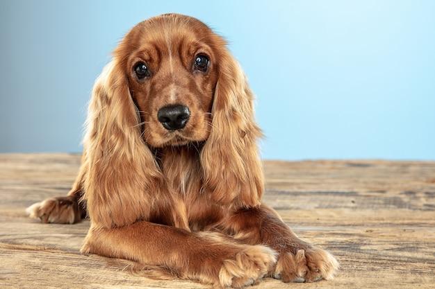 Mejor amigo por siempre. perro joven cocker spaniel inglés está planteando. lindo perrito o mascota marrón juguetón está acostado sobre un piso de madera aislado sobre fondo azul. concepto de movimiento, acción, movimiento, amor de mascotas.