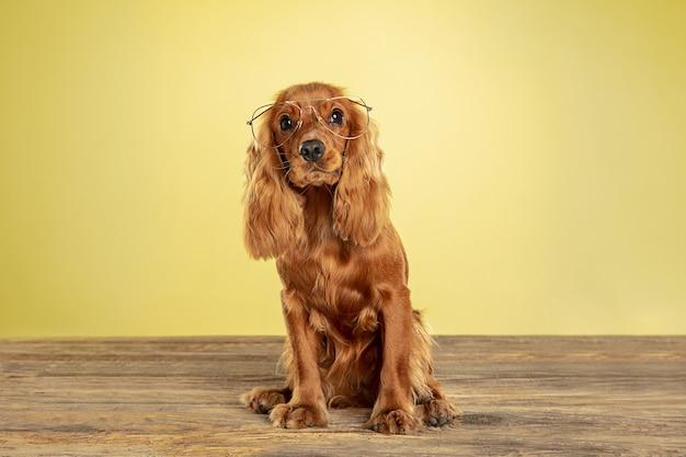 Mejor maestro. perro joven cocker spaniel inglés está planteando. lindo perrito marrón juguetón o mascota sentada en gafas aisladas en la pared amarilla. concepto de movimiento, acción, movimiento, amor de mascotas. se ve bien.