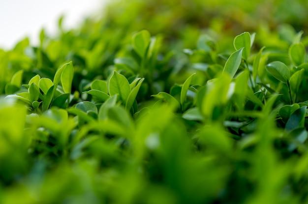 Las mejores hojas de té verde de hojas de té suaves ideas de viajes de la naturaleza con espacio de copia