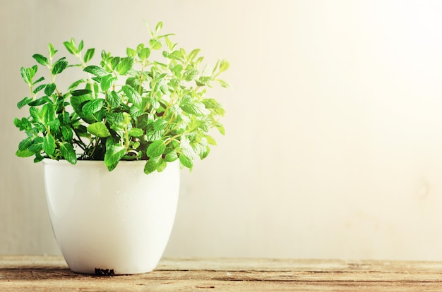 Melissa aromático fresco verde de la hierba, menta en el pote blanco en fondo de madera. segundo