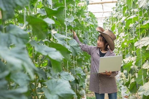 Melones en el jardín, mujer joven en granja del melón del invernadero. brote joven de los melones japoneses que crecen en invernadero.