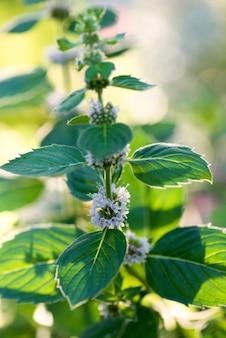 Menta de la planta floreciente en el jardín.