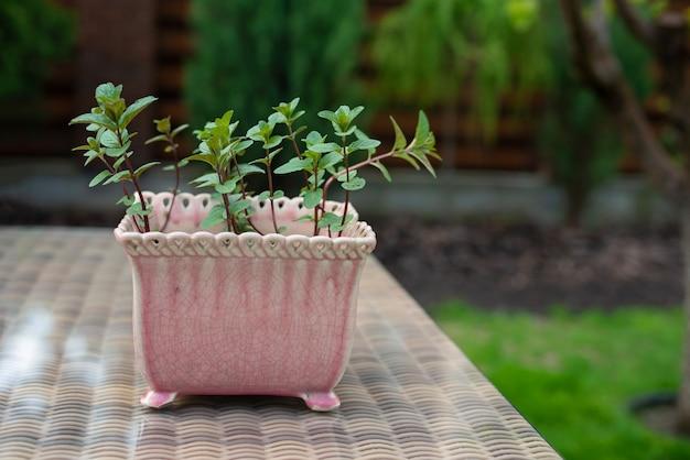 Menta verde fresca en una olla rosa sobre la mesa.
