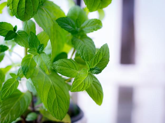 Menta verde fresca en una olla