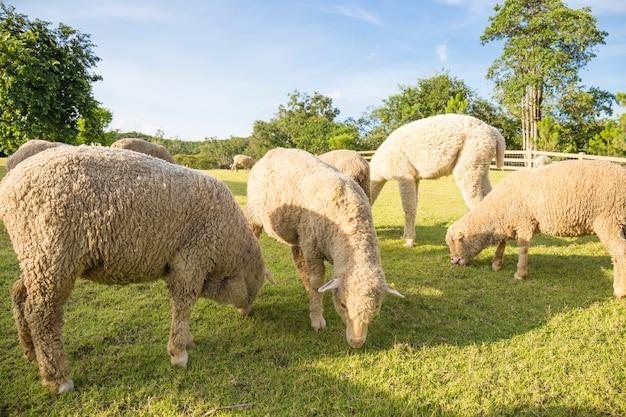 Merino corderos pastando en pastos verdes