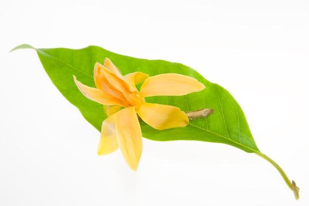 Michelia alba amarilla