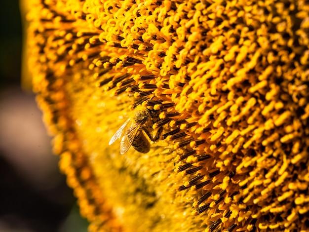 Miel de abeja cubierta con polen amarillo recogiendo néctar de girasol sentado en girasol