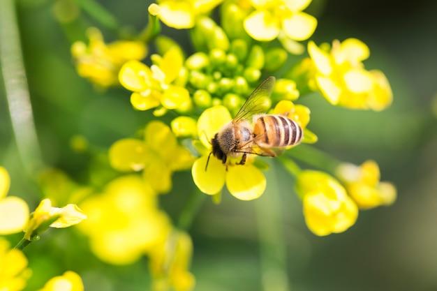 Miel de abeja recolectando polen en flor de canola