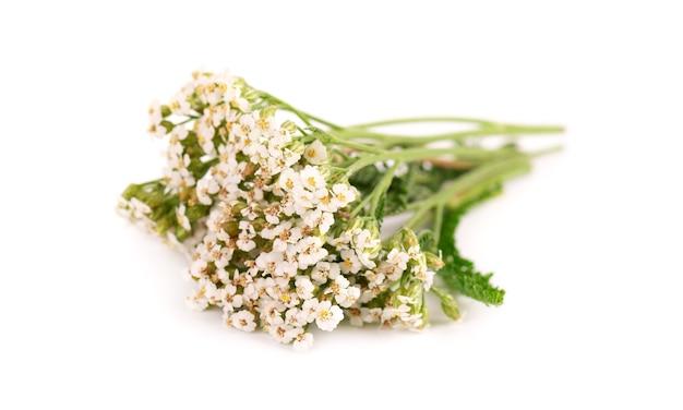 Milenrama o achillea millefolium flores, aisladas sobre fondo blanco. planta de hierbas medicinales.