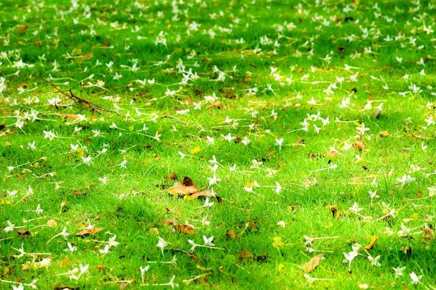 Millingtonia hortensis cayó en el jardín de hierba verde, concepto ralax