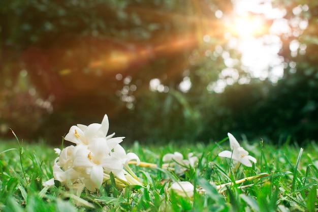 Millingtonia hortensis sobre la hierba.