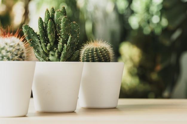 Mini planta de cactus en maceta en el fondo del jardín borrosa
