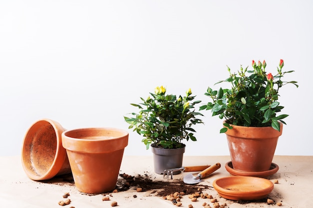 Mini rosas en macetas de cerámica y herramientas de jardinería con espacio libre para texto. plantando rosas en maceta en casa.