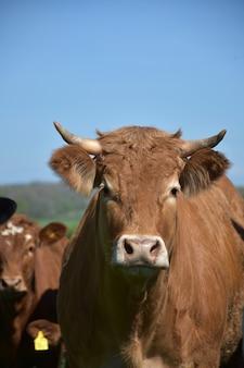 Mirada directa al rostro de una vaca con cuernos pequeños.