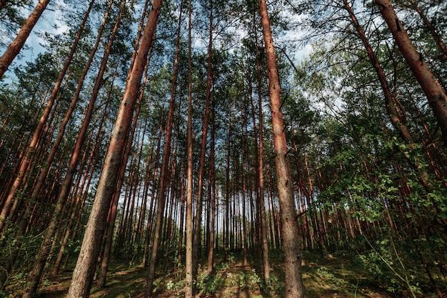 Mirando hacia arriba en el árbol del bosque de pinos de primavera al dosel